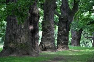 Старые дубы в Коломенском