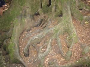 Могучие корни дерева – великана
