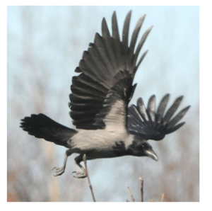 «Куршский голубь» [5]