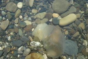 Черноморские медузы
